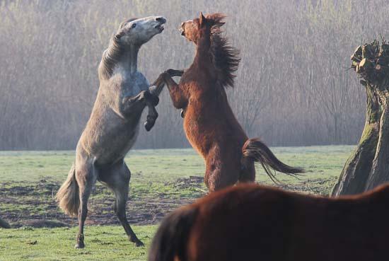 Dansende paarden op Rijsenburg